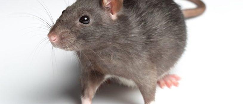 Крысы и борьба с ними