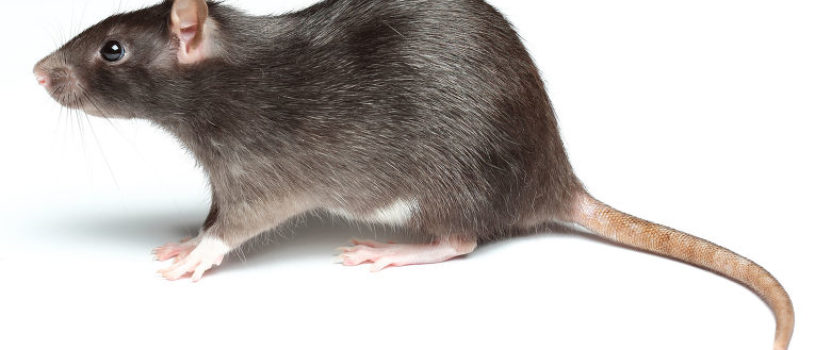 45 удивительных фактов о крысах