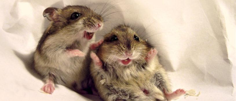 Так ли безобидны мыши?